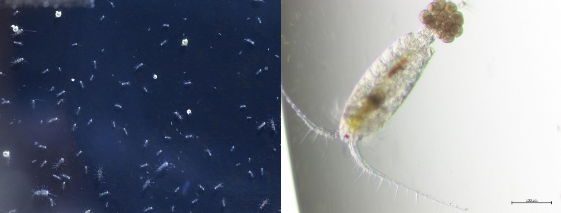 pictures of copepods